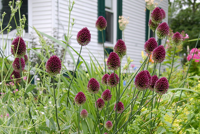 Drumstick Allium: Drumstick allium is a small-flowered allium that may naturalize in your garden.