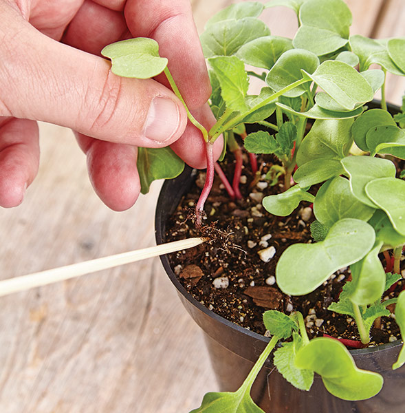 ht-ss-successfully-start-seeds-6: Bamboo skewers are a smart way to handle delicate seedlings.