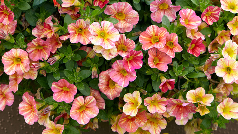 best-container-plants-calibrachoa-pv: This Tropical Sunrise calibrachoa makes for a perfect container plant.