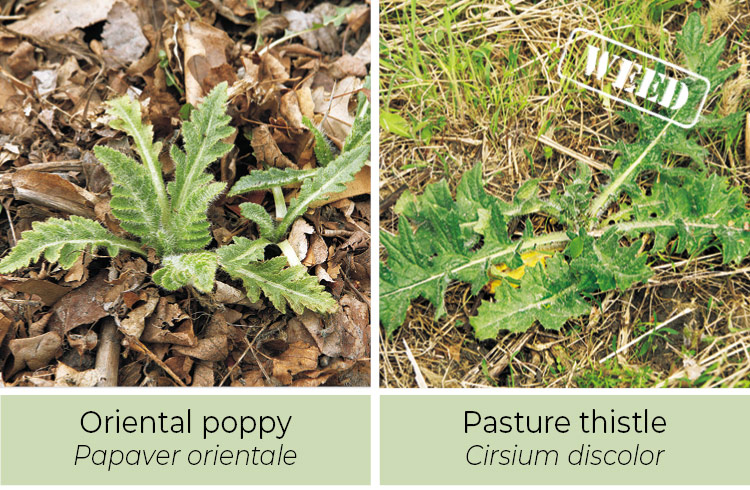Identifying-weeds-Oriental-poppy-or-pasture-thistle: Thistle leaves have sharp spines all along the leaf, while oriental poppies only have fine hairs.