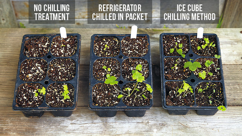 how-to-prechill-seeds-labeled: Prechilling can make a difference. These delphinium seeds were planted on the same day using two chilling methods and one group unchilled. The ice cube method had the best germination rate in the shortest time.