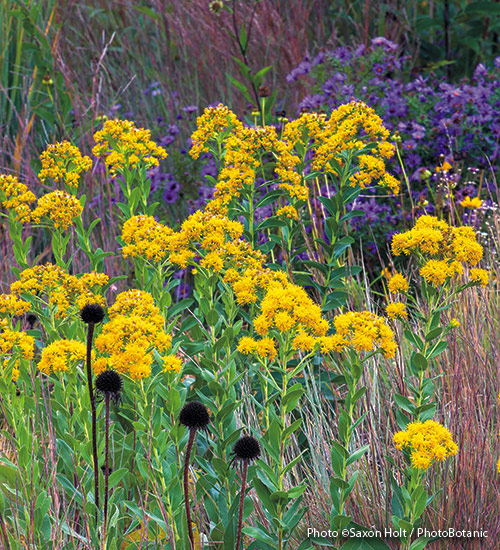 Designing-with-goldenrod-stiff-goldenrod: Stiff goldenrod is a tough plant that grows in the most inhospitable soils, from moist clay to dry sand.