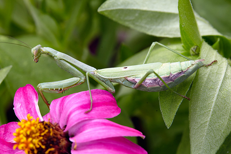beneficial-garden-insects-praying-mantis: A praying mantis can turn its head 180 degrees searching for prey.