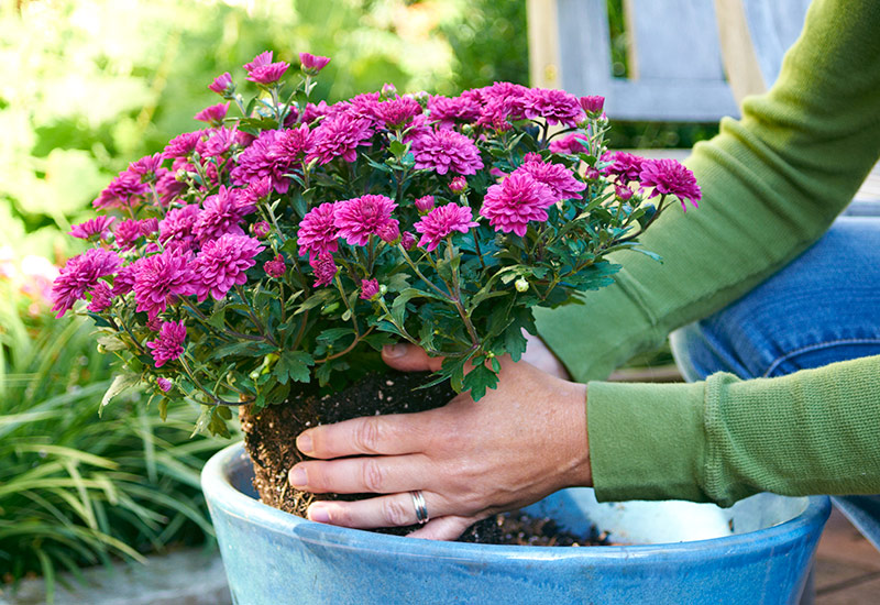 Planting mums in a container: Gardening helps you stay healthy.