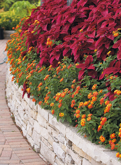 Garden border filled with coleus and lantana: This raised bed of lantana and coleus adds wow factor with only 2 types of plants.