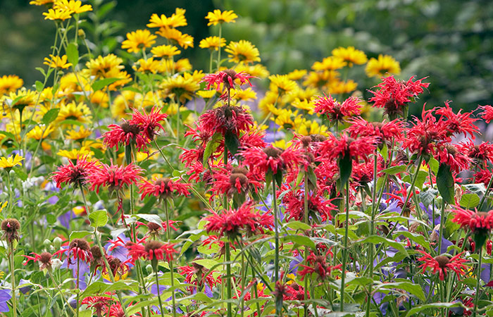hummingbird-garden-plan-plant-flowers-in-masses: Planting large groups of flowers like bee balm will attract more hummingbirds.