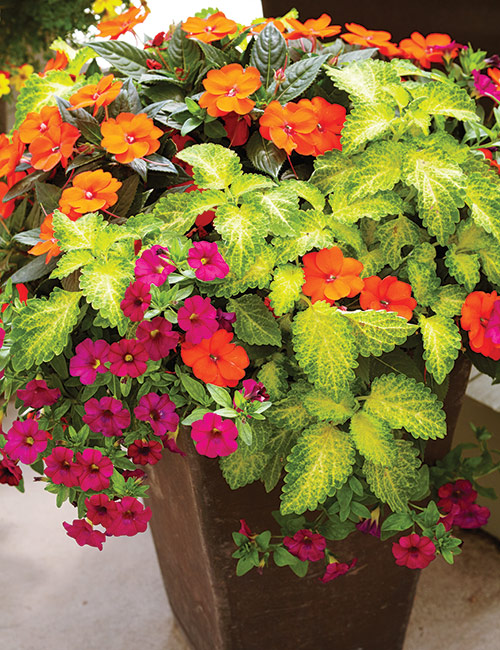 colorful-summer-container-ideas-coleus-petchoa