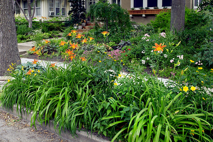 plants-for-curbside-strips-lead: Daylilies, like you see here, are great perennials for hot and dry curbside strips.
