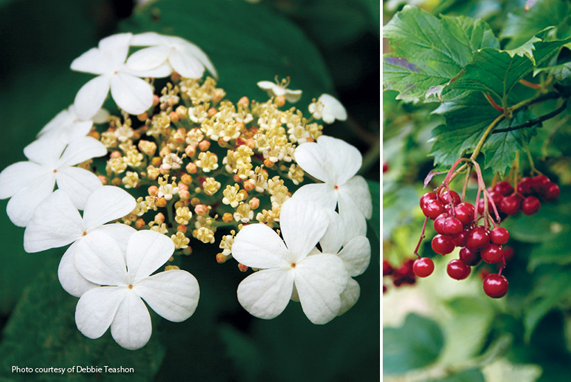 6-plants-birds-love-Viburnum: American cranberrybush has multiseason interest for your garden and birds love the berries!