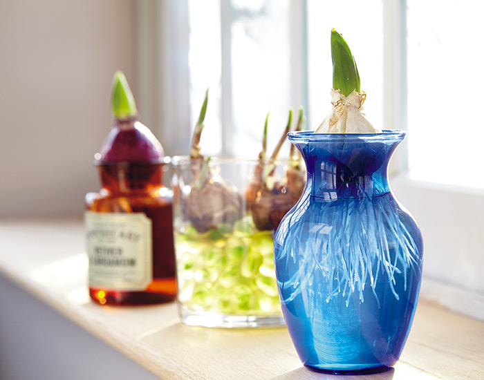how-to-force-bulbs-indoor-in-water: Forcing flower bulbs in water is an easy way to enjoy flowers indoors.