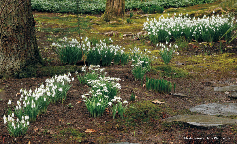 dw-right-bulb-right-place-BrightenShade: Snowdrops are a great bulb for a shady spot in your garden.