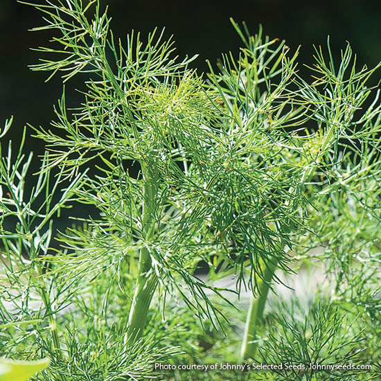 Close up of dill fronds: Dwarf 'Fernleaf' dill is ideal for small gardens and containers.