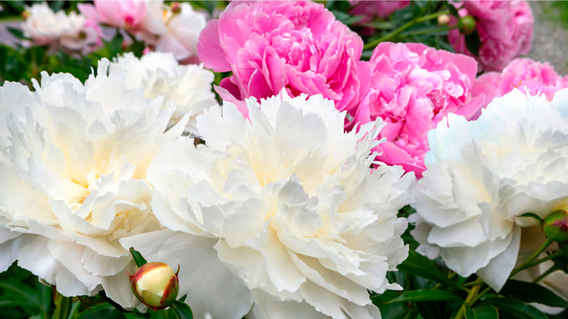 Holiday Garden Gift Guide Peony-Envy