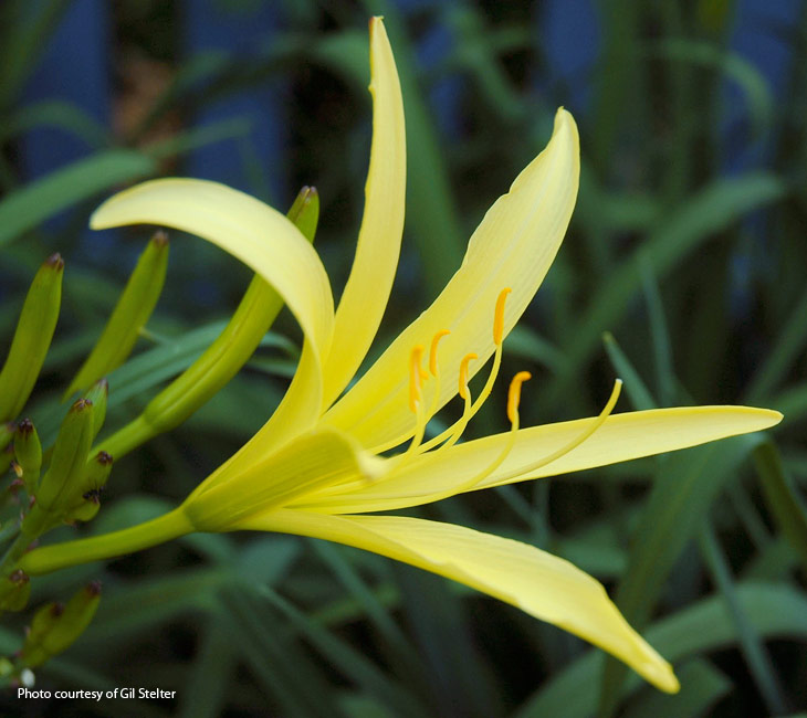 Brighten your night with the citron daylily garden gate a night blooming daylily its true with slender yellow petals and a strong lemony fragrance this daylilys blooms open in the evening and close by mightylinksfo
