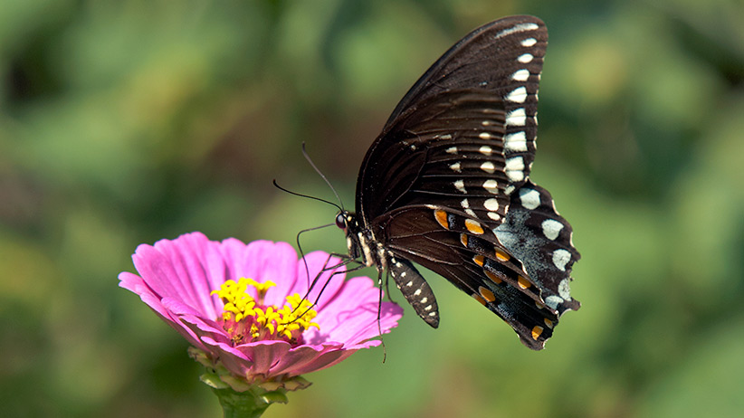 plants-that-are-butterfly-magnets-pv3: Zinnia flowers offer a nice wide landing area for larger butterflies like the Spicebush swallowtail you see here.