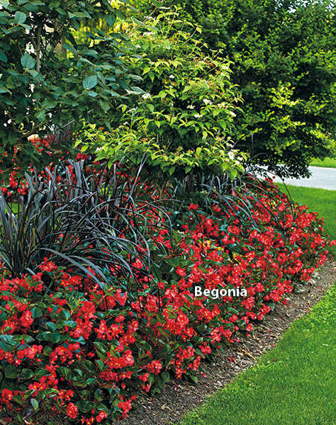 di-effectively-use-red-in-garden-Begonia: Red begonias pop on a dark foliage background of black mondo grass.
