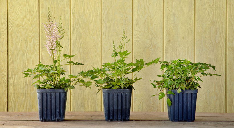 3 Astilbe plants from the nursery in different stages of budding: Some plants have nearly identical foliage — full and healthy with great color. If you want to enjoy flowers this year, look for one that isn't yet in full bloom.
