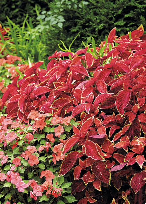 Wizard™ Sunset coleus plants and coral impatiens combine in the shade to create a classic cottage garden look.:Wizard™ Sunset coleus plants and coral impatiens combine in the shade to create a classic cottage garden look.