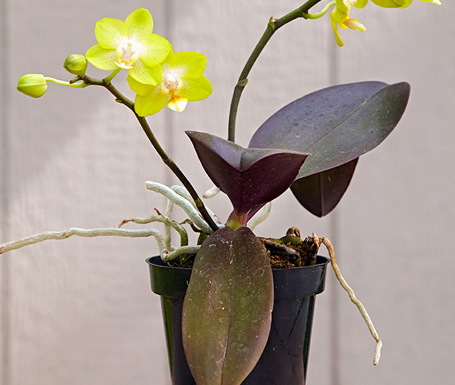 Orchid problems too much light: This phalaenopsis' purple leaves are caused by growing in intense bright light.
