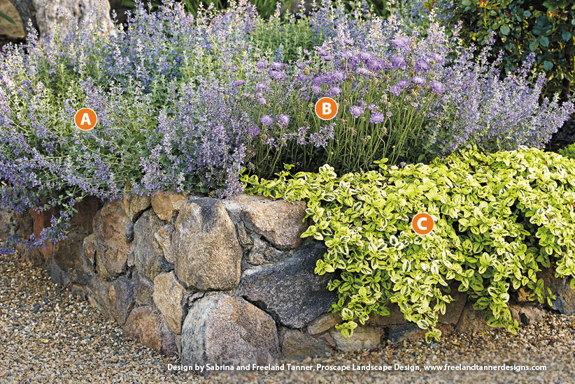 Pincushion flower Scabiosa 'Butterfly Blue', Catmint Nepeta racemosa 'Blue Wonder', and Carmel creeper Ceanothus griseus horizontalis 'Diamond Heights': Letting plants spill over the top of the beds softens the hard lines and brings color up close.