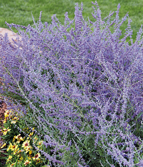 fp-pg-clay-soil-reccomendations-russianSage: Russian sage