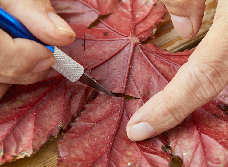 Make a 1/2-inch cut across a few of the largest veins in the begonia leaf: Make a 1/2-inch cut across a few of the largest veins in the begonia leaf.