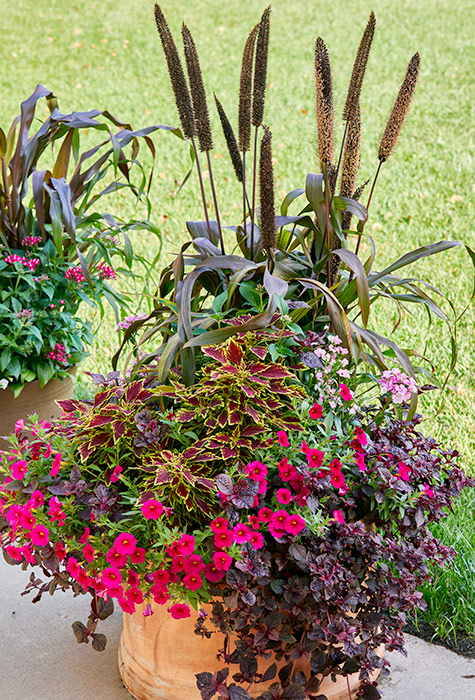 Fall flower pot with millet, coleus, and petchoa: Like its relatives the petunia and calibrachoa, petchoa does best in full sun and comes in a range of colors.