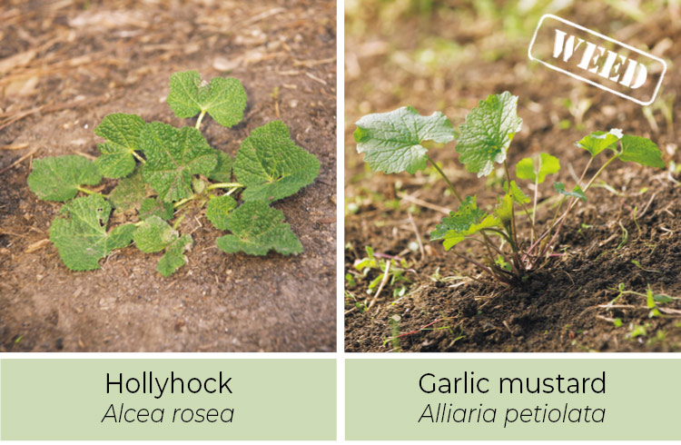 Identifying-weeds--Hollyhock-or-garlic-mustard: A crushed garlic mustard leaf smells like garlic.