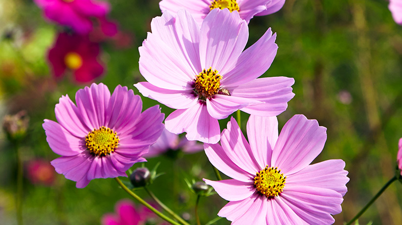 Cosmos Flower Growing Tips