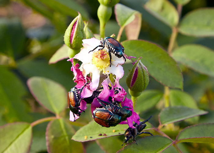 Japanese-beetle-rose-damage: Japanese beetles are known to feast on roses.
