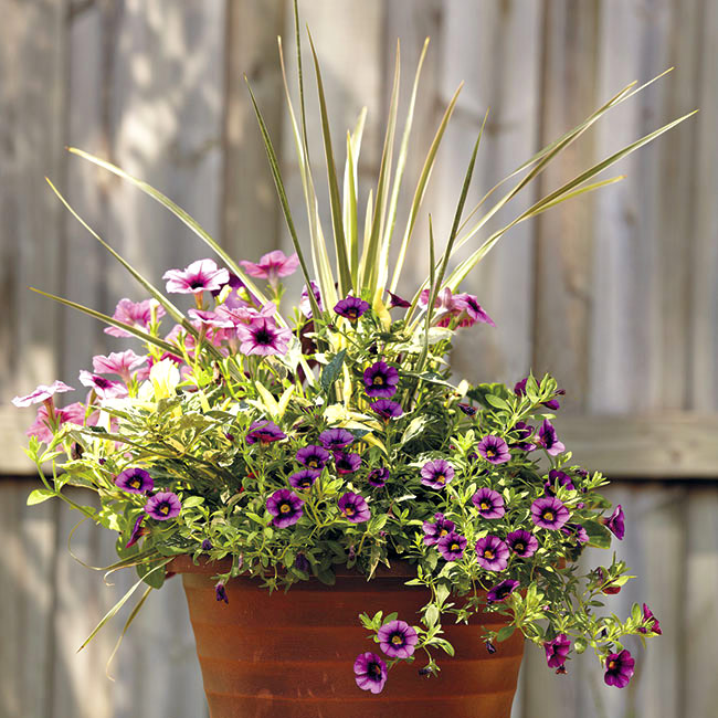 Bold purple summer container with Houseplant cordyline: Hardworking petunia and calibrachoa bloom profusely all summer.