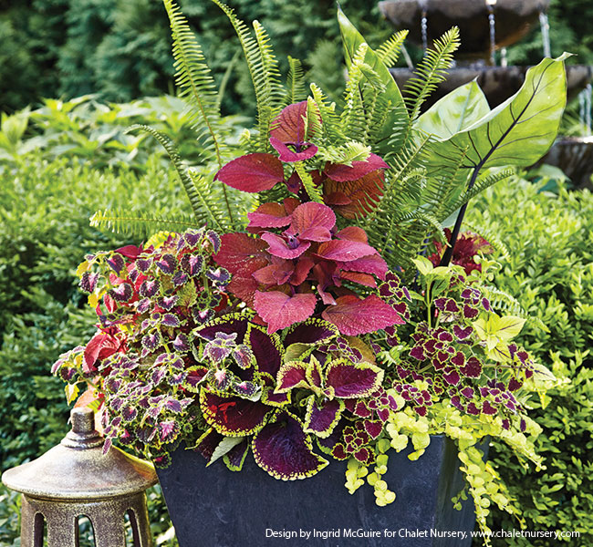 fern-containers-for-shade-coleus-and-ferns