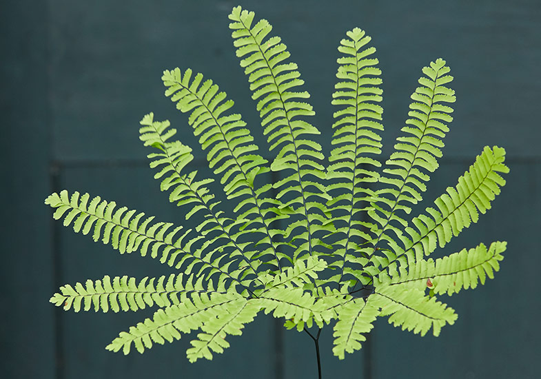 different-types-of-ferns-maidenhair-fern-lead:The graceful, fanlike pattern of maidenhair fern is unique among all of the native ferns.