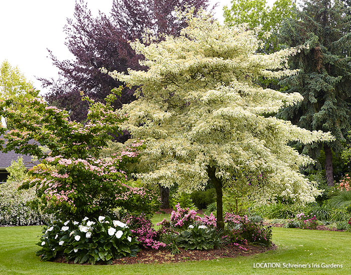 statement-plants-for-your-garden-wedding-cake-tree-lead: The 'Variegata' giant dogwood is nothing short of a show-stopper with its beautiful variegated foliage.