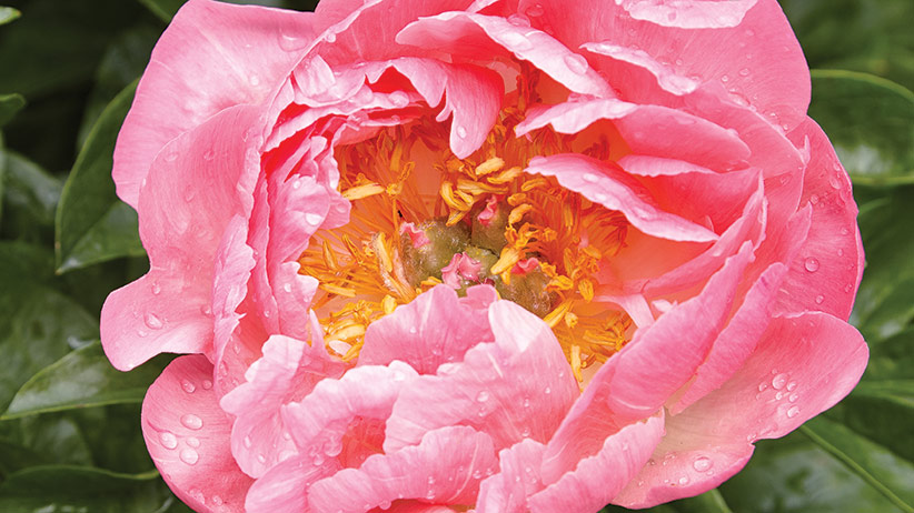 Peony Varieties with Different Bloom Times