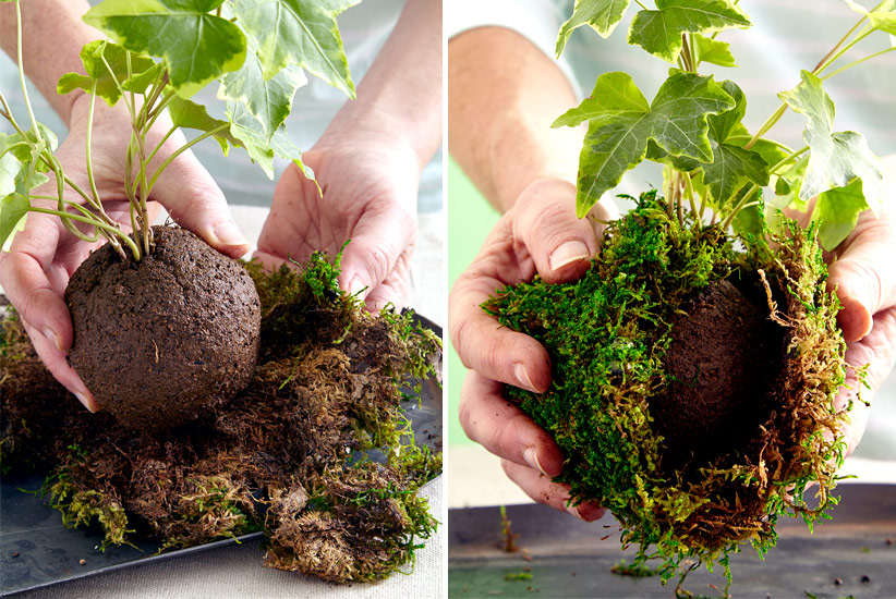how-to-make-kokedama-add-moss-around-ball: Set the ball in the center of the sphagnum sheet moss and gather the moss around the soil and up to the base of the plant.
