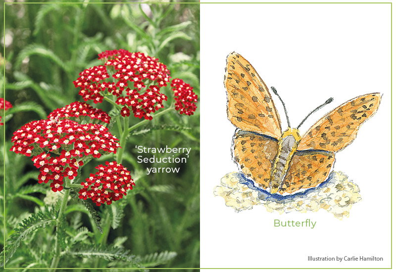 Flower-shapes-Umbels-butterfly: Flat umbels of yarrow attract pollinators including butterflies, and make a great landing pad.