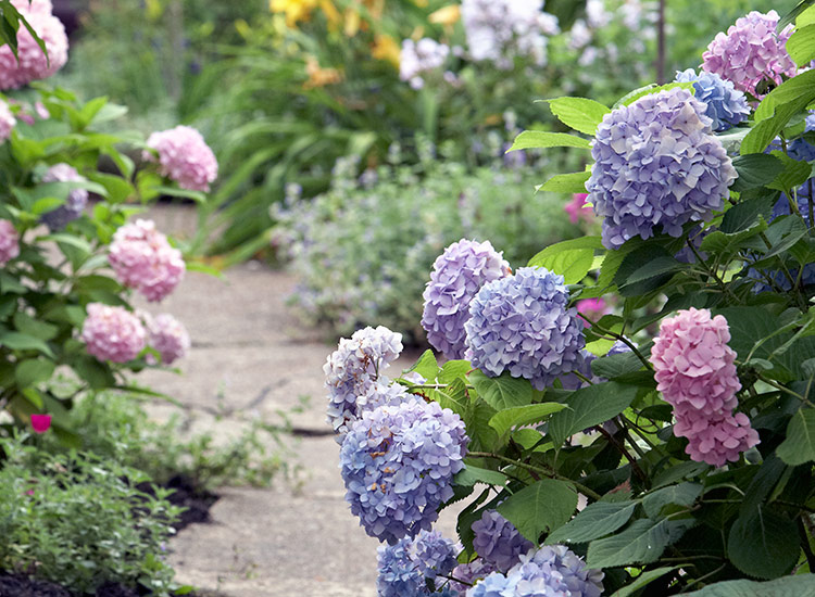 Blue and pink bigleaf hydrangea flowers along a pathway: Bigleaf hydrangea blooms come in shades of blue and pink depending on the acidity of the soil they are grown in.