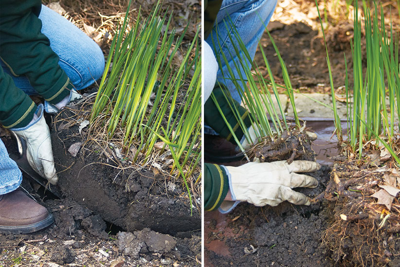 Dividing Siberian Iris:Lift your Siberian iris out of the ground and cut off pieces to replant or share with friends.