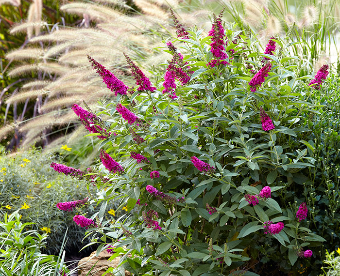 'Miss Ruby' butterfly bush: 'Miss Ruby' butterfly bush has bright fuchsia flowers and has a slightly more compact habit than the typical butterfly bush.