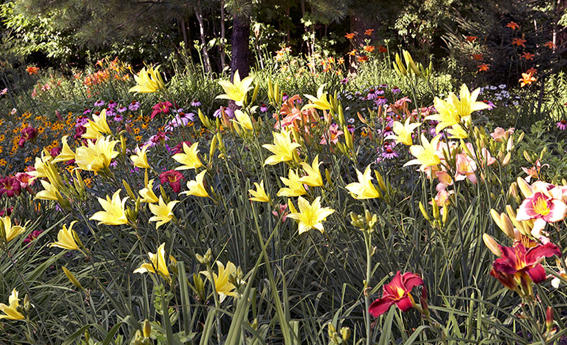 how-to-grow-daylilies-border