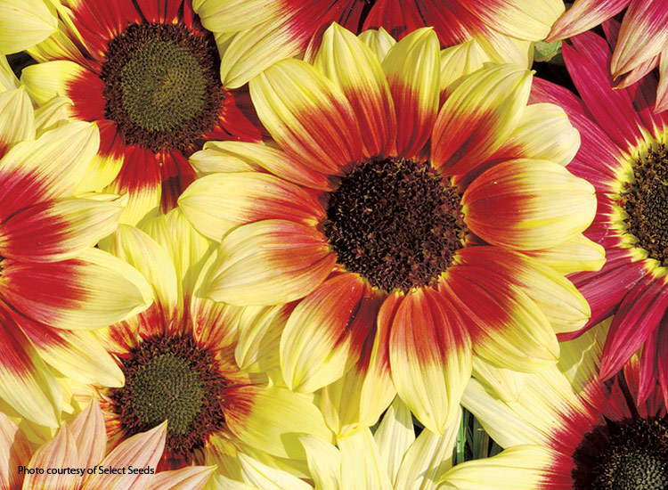 7-sunflower-varieties-for-your-garden-Magic-Roundabout:'Magic Roundabout' sunflowers are beautiful in garden bouquets.
