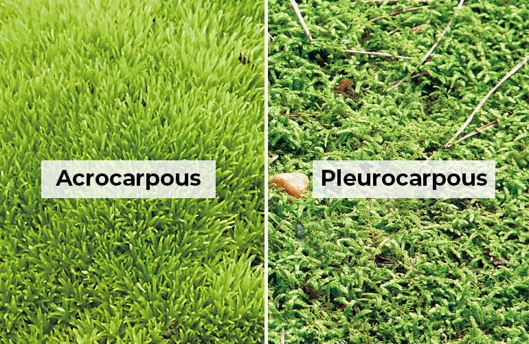 2-types-of-garden-moss: Acrocarpous mosses have a short upright growth habit, whereas pleurocarpous mosses have a branching growth habit.