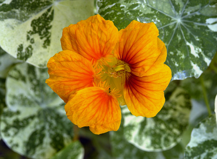 Alaska-nasturtium-flower-closeup: 'Alaska' Nasturtium is not only beautiful in the garden but you can eat the flowers and the leaves for a subtle peppery flavor to many dishes.