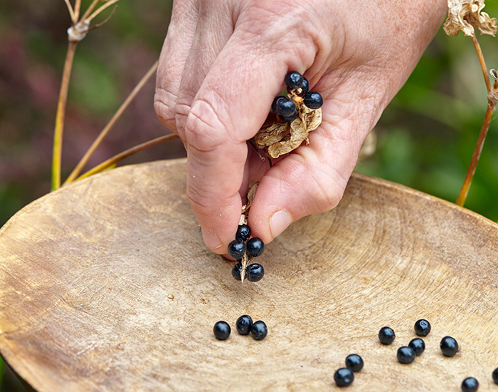 Harvesting blackberry lily flower seeds: Rake or pick off blackberry lily seeds once the pod turns brown, dries and folds opens to reveal the blackberrylike seedhead inside.