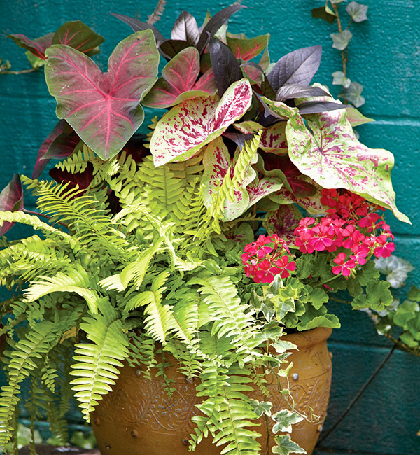 fern-containers-for-shade-caladium-and-ferns