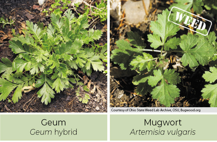 Geum and Mugwort comparison photo of spring growth: Notice that geum has leaves all down the stem.