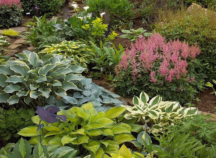 Burdick-shade-garden-Astilbe-focal-point:This shade garden design features lacy foliage of astilbe which creates nice contrast to the broad hosta leaves.
