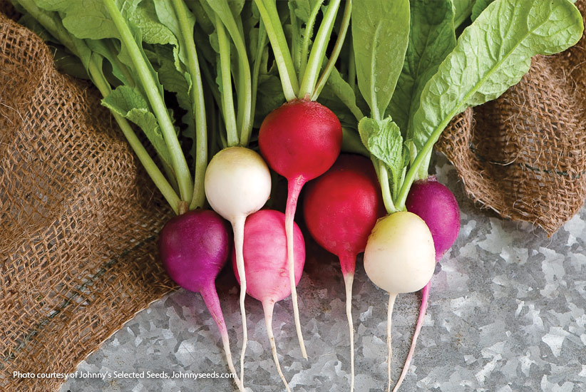 Harvested radishes: Easter Egg Blend radishes' mix of colors are beautiful as well as delicious.