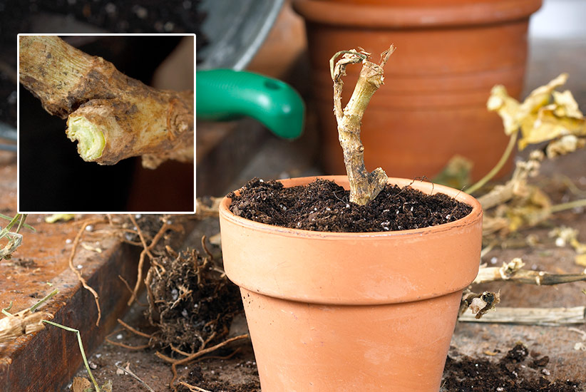 ht-overwinter-geraniums-potitbackupinspring: Snip off any extra-long, straggling roots, and cut the stem back to healthy green growth,as the inset shows.